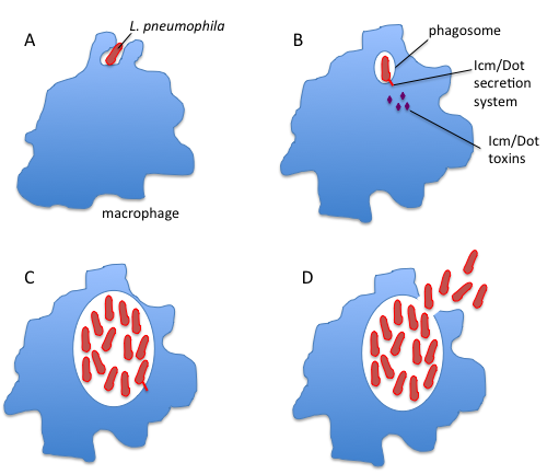 Figure 2: Infection of macrophage by L. pneumophila. A, phagocytosis; B, secretion of Icm/Dot toxins; C, growth inside the macrophage; D, destruction of the macrophage and exit.