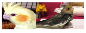 Figure 2 - Photographs depict a healthy cockatiel (left) versus one infected with Chlamydophila psittaci (right). Photos taken by Olivia Saray.