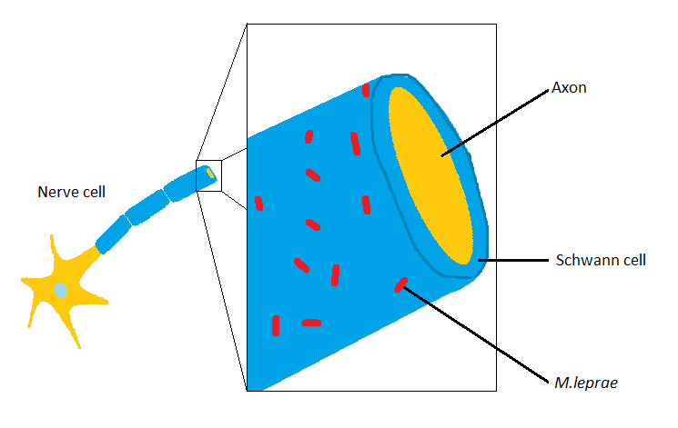 Figure 2: The attachment site of M. leprae on Schwann cells (Figure by Emilie Yeh).