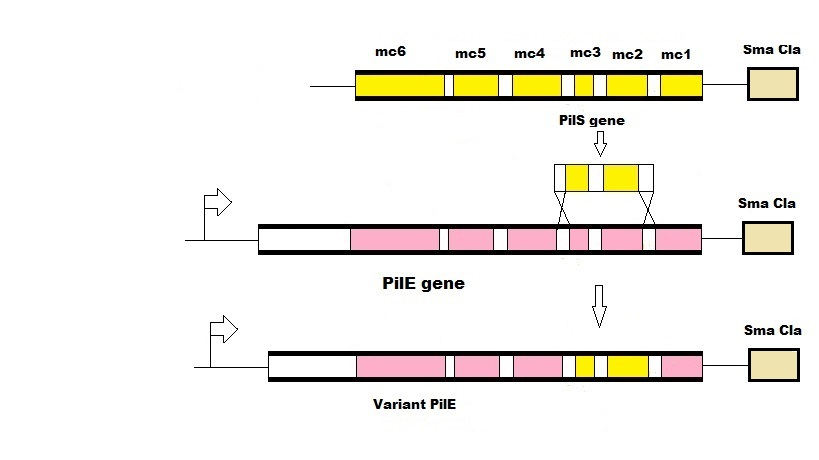 Figure 4: Antigenic variation in Neisseria gonorrhoeae by gene shuffling. The white boxes represent the conserved regions of pilE and pilS. The variable sequences (mc1-mc6) are represented by the yellow boxes for pilS and the pink boxes for pilE. Sma/Cla is DNA sequence that is involved in pilin recombination.