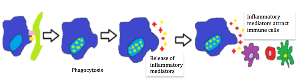 Figure 2. Illustration of the immune response ultimately leading to increased inflammation and subsequent disease.